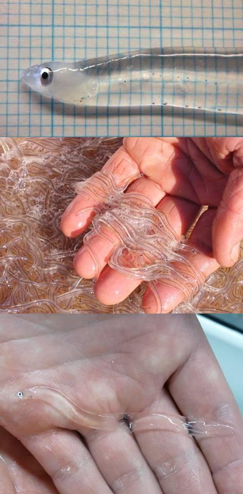 Glass eels. http://t.co/j1nVIbqKMq