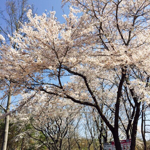 【アラバキ】本日よりタワエコチームはアラバキ会場入り!雲一つない快晴です!会場の桜、満開ですよー! #ARABAKI http://t.co/Fa5Td4I0H5