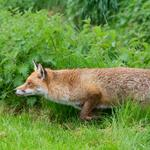 Wildlife watching in the Greater #London National Park* http://t.co/yXANNODkd0 with @WildCapital. Fox by @_irj http://t.co/URlAfST3ho