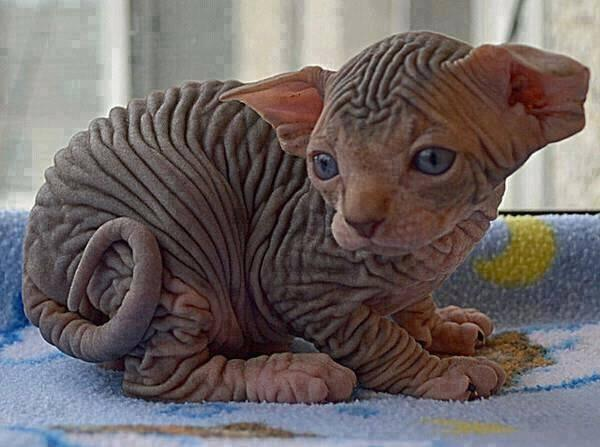 This is what a Sphynx Kitten looks like. http://t.co/VvXUQby3IA