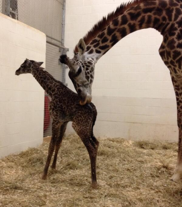Standing for first time!! #giraffebirth http://t.co/trtL8EGnXh