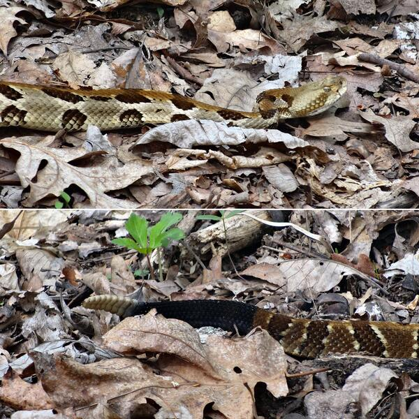 Had a close call... Stepped just inches from this rattler's head while turkey hunting. I'm lucky he didn't strike! http://t.co/7OQTpAhRP2
