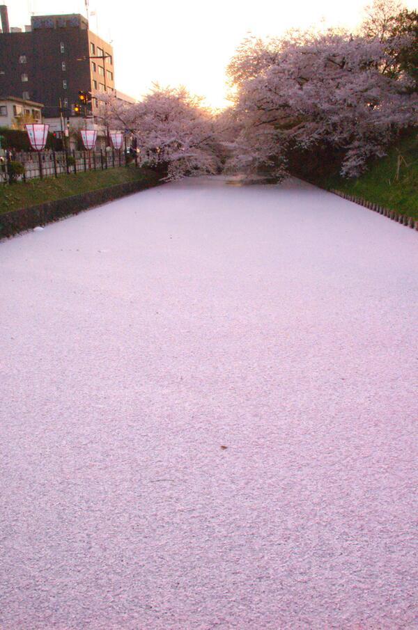 これはみごと RT @WizardsTools お堀の桜。 http://t.co/3cmnUnwJk8