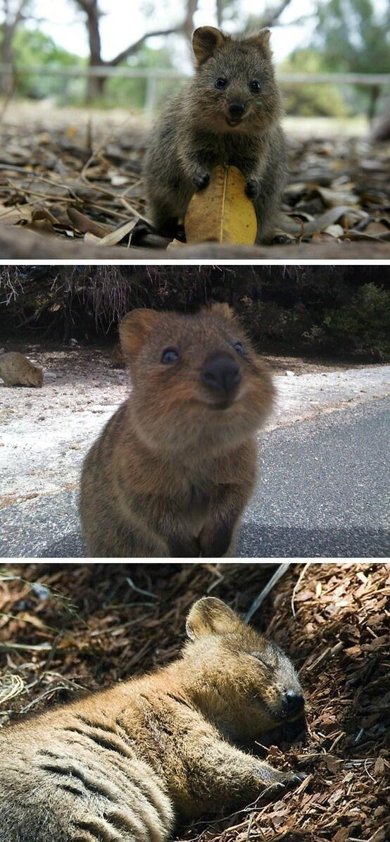 It's called a Quokka,lives in Australia,is endangered,& considered one of the friendliest, happiest animals on earth. http://t.co/gUanguWrft