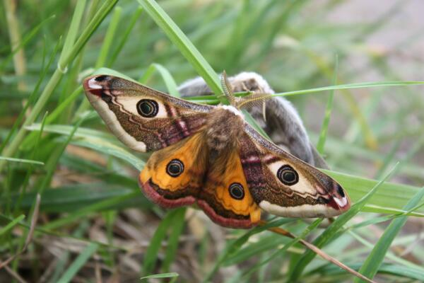 Stunning image from our warden at Hickling Broad - Emperor moths mating, the male is the small red under winged moth http://t.co/tW0XI2f32A