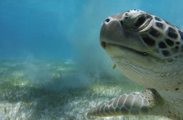 Pic of the Day: Green turtle selfie - @afalla1 http://t.co/O3CzQqOwTB http://t.co/h0aM9lB0di