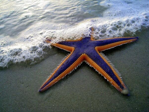 Amazingly colored starfish http://t.co/P0lllqNkQl