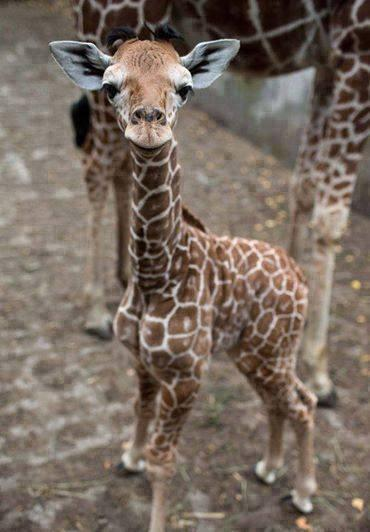 A pic of one-week-old Giraffe baby http://t.co/8XaOthpqWp
