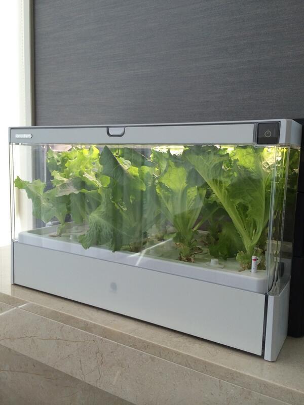 水耕栽培のレタスが採っても採っても育つ…。これじゃあレタス地獄だ(。-_-。) http://t.co/FglskLEgDJ