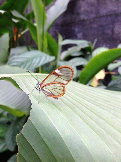 It's the Greta Oto Butterfly, it's not photoshopped, it really has transparent wings. http://t.co/Aa8fC3uYEa