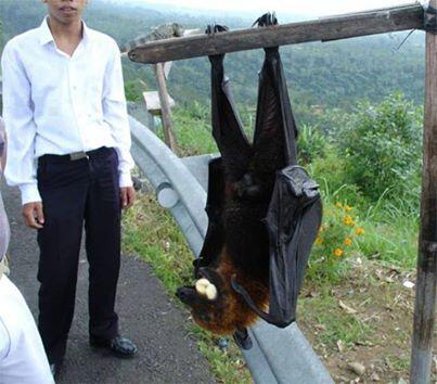 Flying Fox Megabats! They may look scary but they are in fact harmless to humans! http://t.co/lqCEwpa3qy