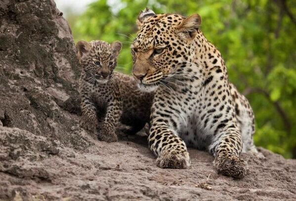 A Leopard and her cub in the Botswana wild reserve. Lovely pic. Cherish wildlife. Spread the love. http://t.co/eiUrJFyzxd