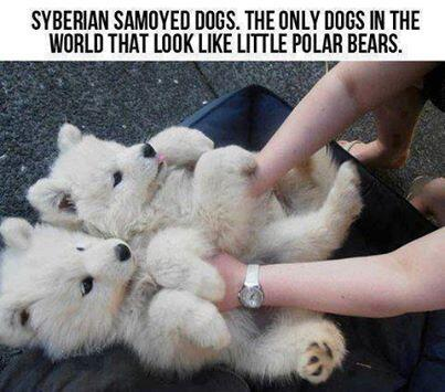 Siberian Samoyed Dogs. The only dogs in the world that look like little polar bear http://t.co/RwqRUY9oXv