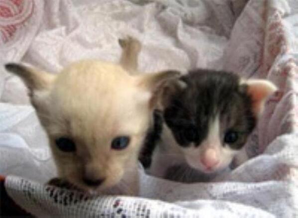 """นักวิจัยจุฬาฯ ทำสำเร็จ กำเนิดแมวหลอดแก้ว""""เบาหวิว-หนักอึ้ง"""" แมวแฝดไทยคู่แรก อนุรักษ์แมวไทยหายาก http://t.co/UmNk4IcNHy http://t.co/uZwCdHLiEC"""