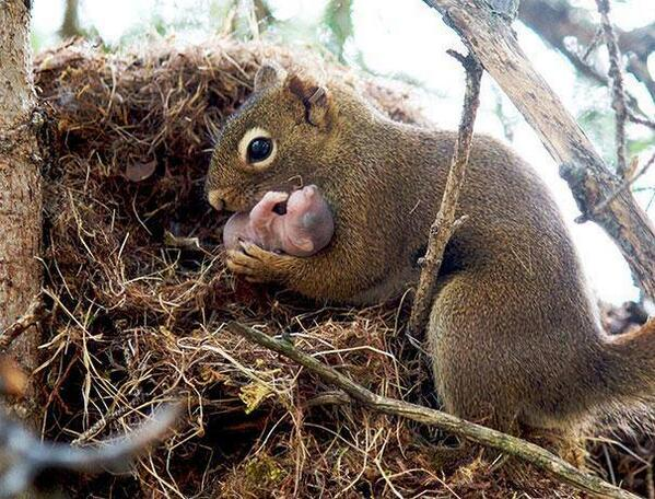 Red squirrel taking an adopted baby from nest. Yes, squirrels adopt babies if they are abandoned. http://t.co/NwCpm569Qp
