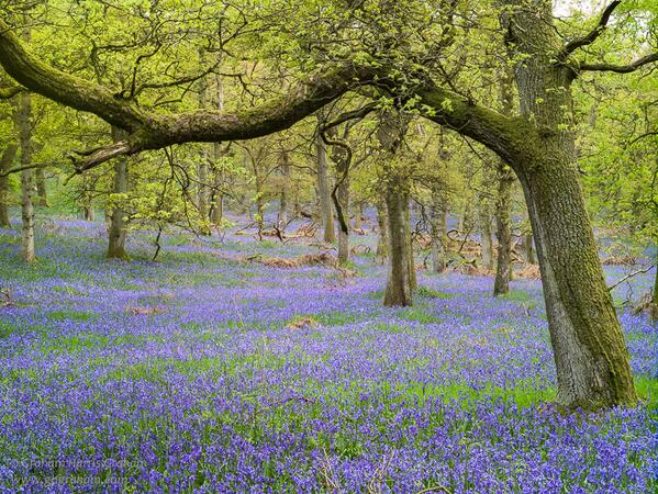MT @GHarrisG: Another image from my perfumed stance among the #Perthshire bluebells @NaturalScotland http://t.co/zfOwsU46qE < lovely!