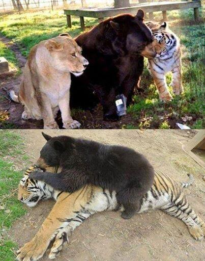 A lion, a tiger and a bear! These three have been friends and living together for 12 years. http://t.co/080xcCwgO3