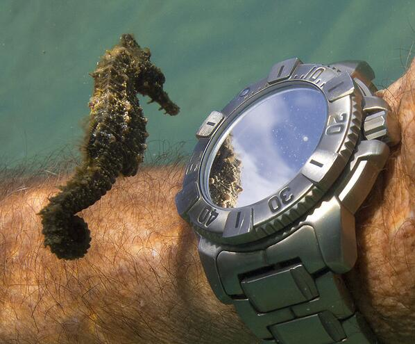 A seahorse admiring his own reflection from a divers watch. http://t.co/X6i5HtExVy