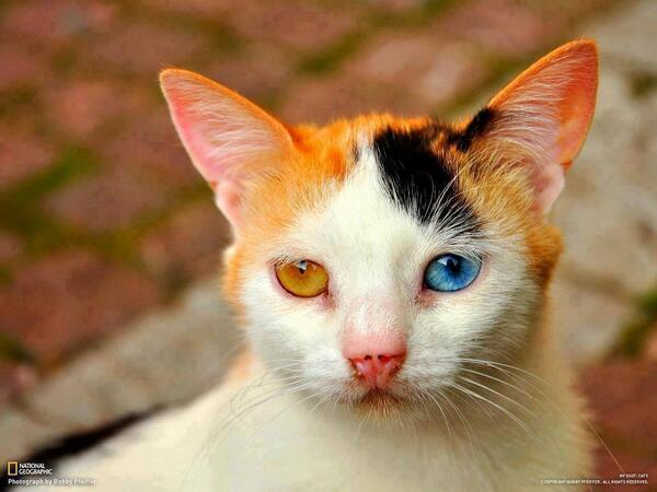 This is genetic deformation in cat! http://t.co/bieVkhW4Bb