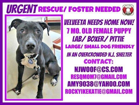 Help us save little Velveeta!! NJ - sweet, shy puppy needs rescue NOW. Please RT to save this little girl. #rescue❤✌ http://t.co/vtaa0uCR3A