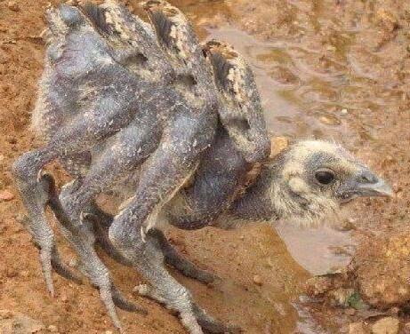 鳥のモモ肉は値段が高くつくからか RT TPP絶対反対。 http://t.co/O9RsrLJSTX … 一羽の鳥から6本のモモ肉がとれる品種も作られている。 http://t.co/egN9m13vjs