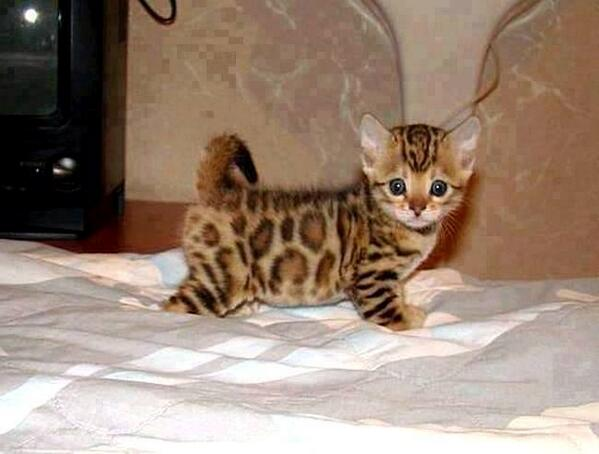 This is what a savannah cat kitten looks like http://t.co/h7IuzVniwH