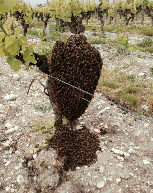 Swarm of bees found this morning in our vineyard. The secret beyond Yquem complexity ? http://t.co/1Y8nwUmJSi