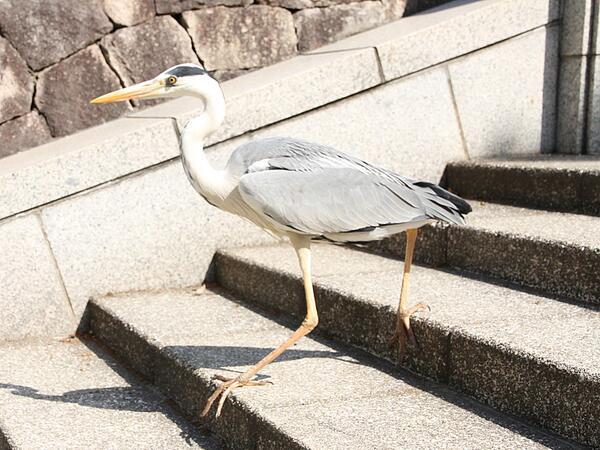 天王寺公園で階段を歩いて降りる鳥がいました。獣医さんに聞くと「アオサギ」という鳥だそうです。 http://t.co/OFPFim3mef
