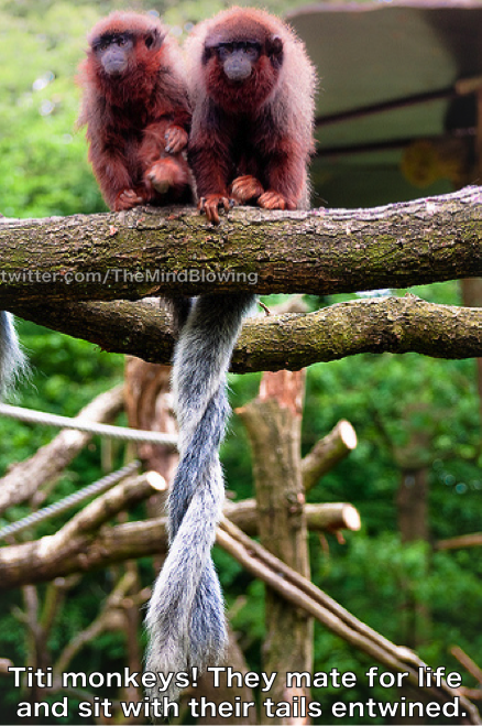 Titi monkeys! They mate for life and sit with their tails entwined. http://t.co/i57yUtwTgY