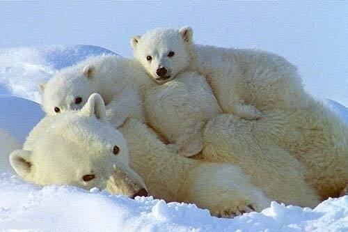 Supercute picture of a polar bear family. Lovely animals! http://t.co/htNTEFOAmD