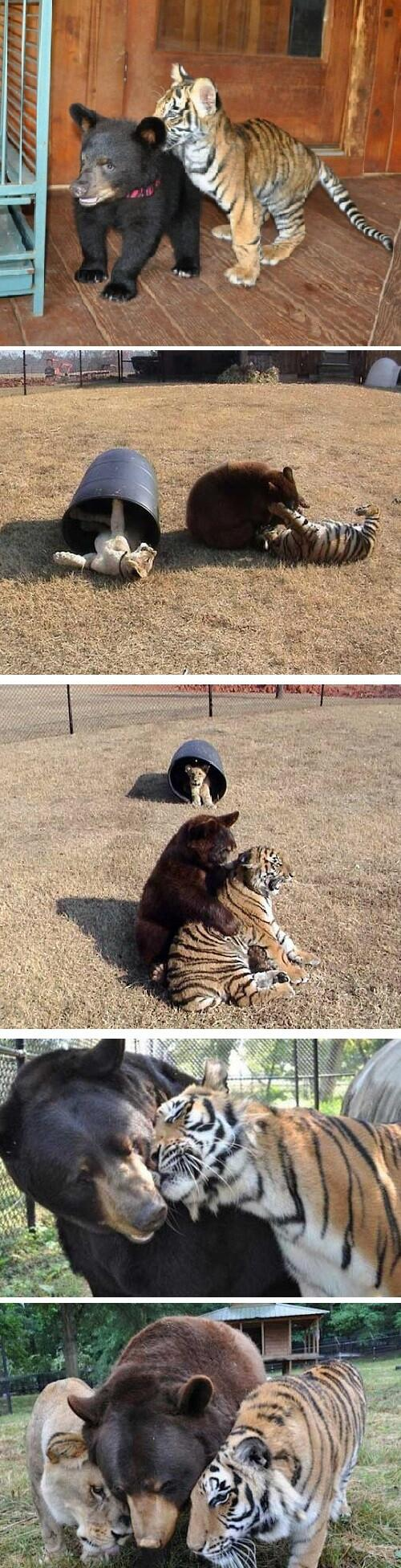 Lion, tiger and bear raised together after rescue from drug dealer: http://t.co/xWmzVI69oI