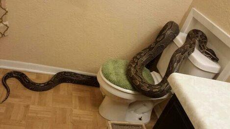 "Gahhhh! :( ""@KHOU: ICYMI: College Station woman finds 12-foot python in bathroom http://t.co/8QUcrlhEik #Texas http://t.co/PnRboYynOs"""