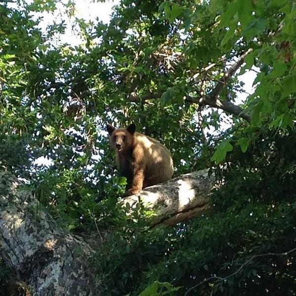 Baby bear in a tree.  Sierra Madre.  Where's mom? http://t.co/vkx5oK2AHl