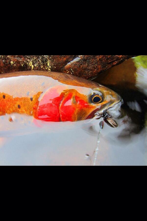 High Uinta Colorado cutthroat. http://t.co/zKv7TNOUKb