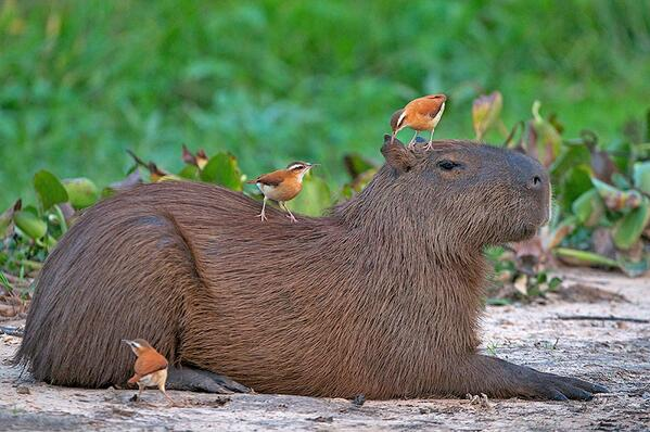 """There is a tumblr site called: """"Animals sitting on Capybaras""""... my night has just been made! http://t.co/W9fcarznBa http://t.co/aa1UpH0t4K"""