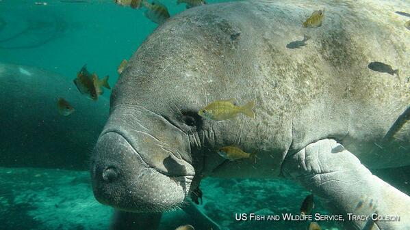 VIDEO: Manatees are gentle giants. Averaging 10 ft long and 1,200 pounds!  #ESDay http://t.co/ZDyzswBVJD http://t.co/6HZTkqKxrn