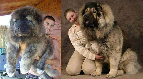 This is what a Russian Caucasian Mountain Dog looks like! http://t.co/V4XiNGJ21X