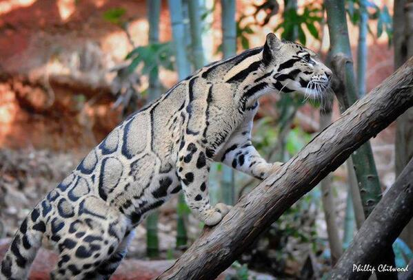 This is what a clouded leopard looks like! http://t.co/YVaHLiAuBk