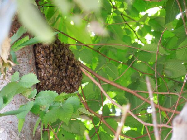 会社の前の木に、ミツバチの分封(引越し)を発見! 初めて見た! http://t.co/JsrybnpjdC