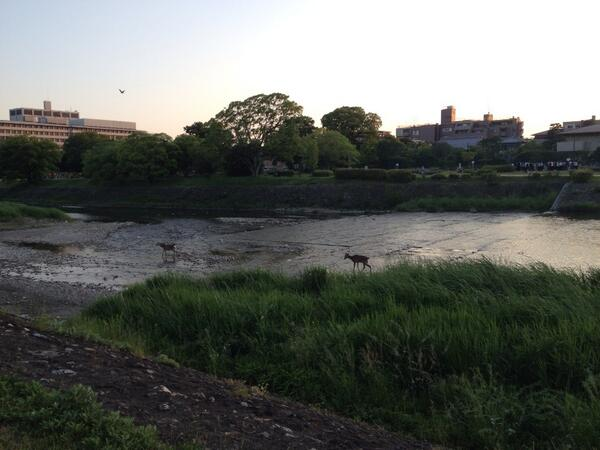鴨川に鹿ちゃんがいる!!(笑) http://t.co/dxEsJ72xR2
