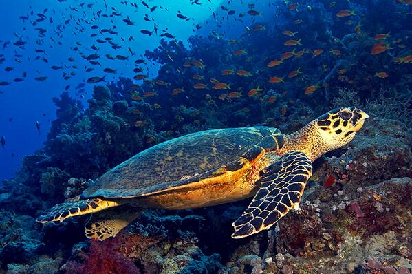 Critically Endangered hawksbill turtle. #EndangeredSpeciesDay #turtles cc @endangered http://t.co/Giq2anVxcX