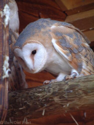 You can make a difference - Adopt a Barn Owl and help us continue our vital work: http://t.co/spkcWrhB8p http://t.co/J8jRevE4ya