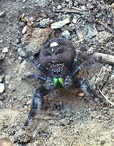 RT @LauraLeeActor: @Myrmecos @CaliShooterOne @Venice311 Anyone? My coworker found it in her garden. #spiders #bugs #entomology http://t.co/HqPNPj90OA