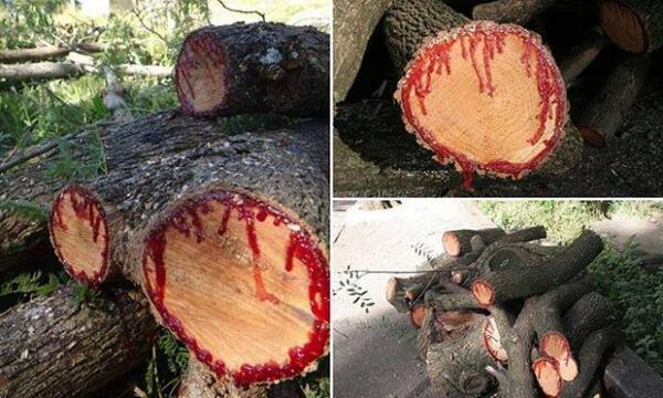 The tree that bleeds when cut is known as Dragon's blood http://t.co/yQAmFpjfu7