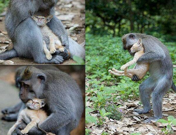 A wild monkey has stunned animal lovers after it adopted an abandoned kitten and cared for it as his own. http://t.co/VLANWlibDi