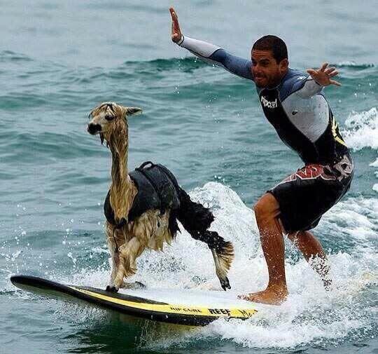 An Alpaca surfing in Peru. That is all. http://t.co/WARfH4cQjC