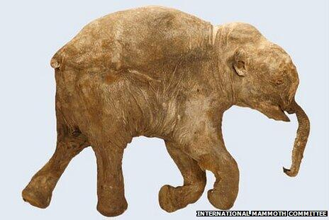 Perfectly preserved 42,000-year-old baby mammoth unveiled at the Natural History Museum http://t.co/LpAb4MT1gx http://t.co/4kSAa1qChm
