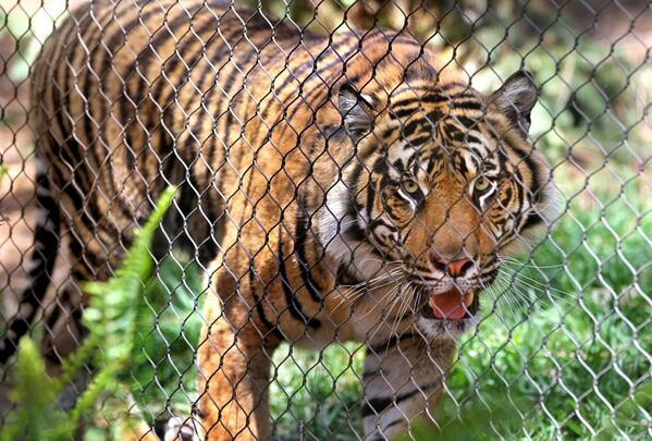 #Tigers finally have new home at the @SanDiegoZoo #SafariPark in #Escondido http://t.co/VFN7zBur7r http://t.co/Mr7x5tZ7A2