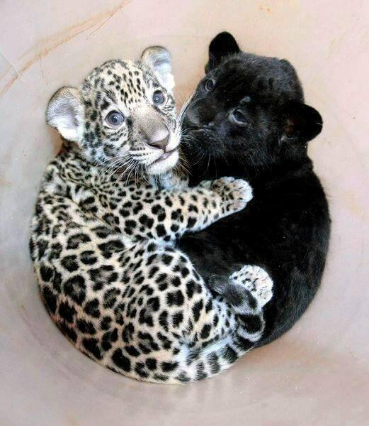 Baby jaguar cuddling with a baby panther: http://t.co/SbWJU40xXd
