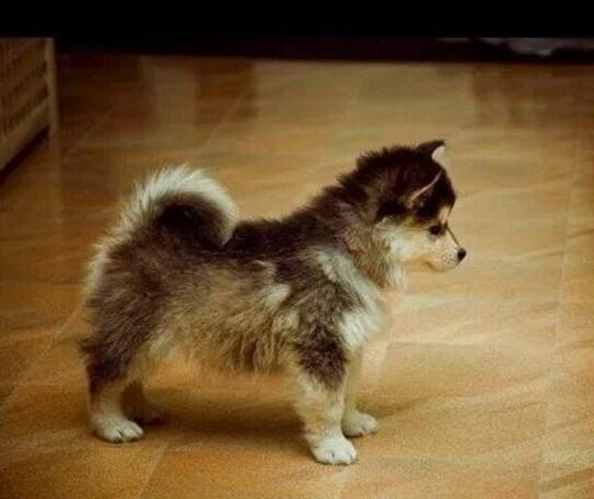 I want this dog... Pomsky.. Part Pomeranian party Husky.. That was a struggle take down but look how CUTE!! http://t.co/k5Jf3TxcHx